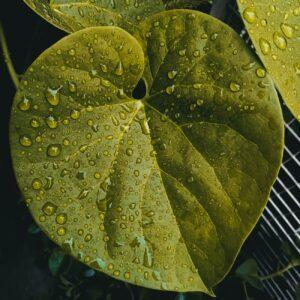 morning dew on leaf of tinospora cordifolia plant
