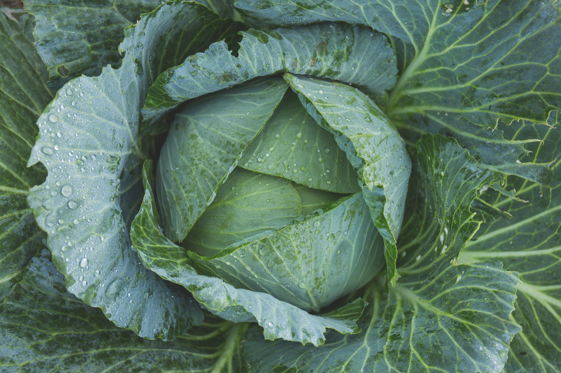 vitamin c from cabbage