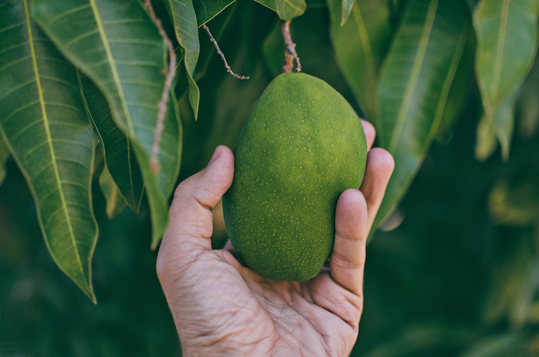 close up photo of person holding unripe mango
